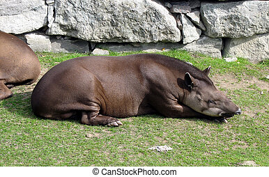 Sleeping tapir - Tapir resting and thinking about his future