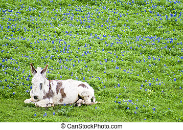 Sleepy Burro - A burro, with long white hair and brown...