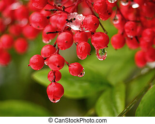 Red Berries Snow Melting
