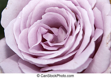 Purple Rose - A Detailed shot of a purple rose
