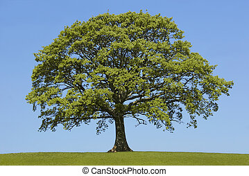 The Oak In Spring - Oak tree in leaf in a field in spring,...