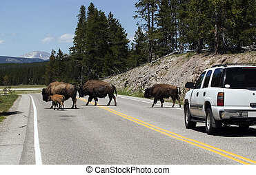 Bisons on the road - Bisons crossing the road in Yellowstone...