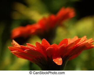 Oange Gerbers - garden flowers