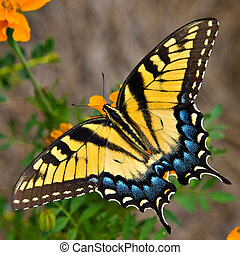 Tiger Swallowtail Butterfly - A Swallowtail butterfly...