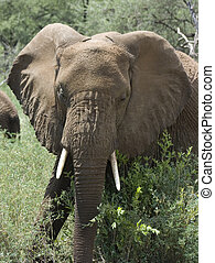 Wild African Elephant - Young male african elephant in the...
