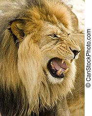 rugido, león, primer plano