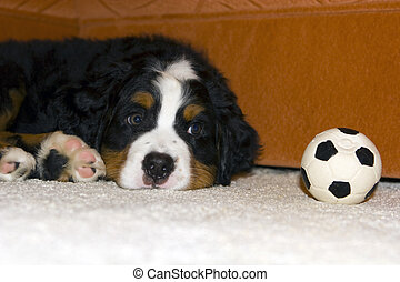 puppy with a ball - Nice puppy laying on the carpert and...