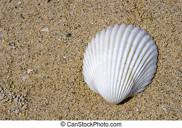 Seashell on the beach laying on the sand