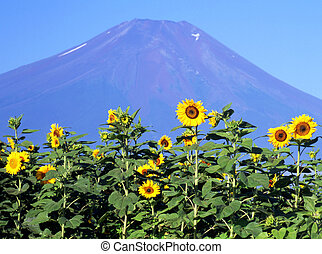Sunflower III - A field of sunflowers with Mount Fuji in the...