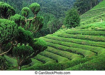 Tea Rows - Curved rows of green tea in Boseong, South Korea.