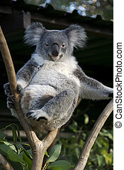 Koala - Lazy koala bear sitting on a branch