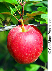 Apple on a tree - Closeup on big ripe red apple growing on...