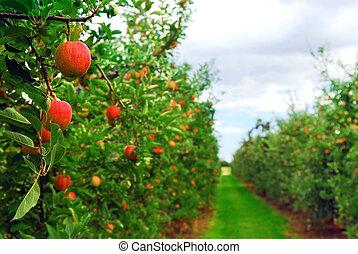 maçã, pomar