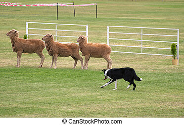 sheep dog trials - picture of sheep dog rounding up threee...