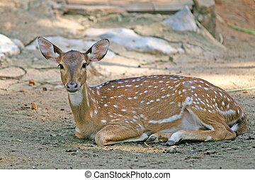Spotted Deer - A spotted deer, or chital, native to Indian...