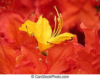 Yellow Azalea Orange
