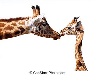 isolado, Girafa, youn