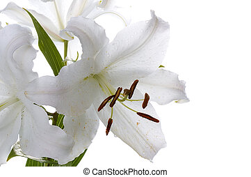 big white lily - big white lily close-up isolated on white...