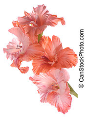 gladiolus close up isolated on white background