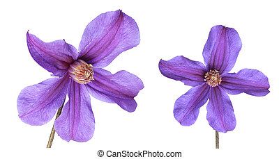 clematis - two flowers of clematis isolated on white