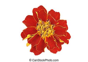 marigold isolated on white