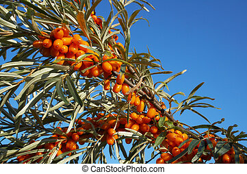 branch of sea-buckthorn with ripe berries