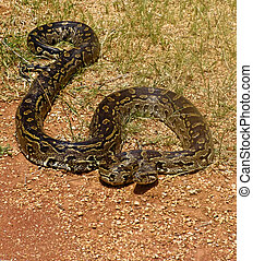 Python - Rock python, keeping warm in the sun, Pythonidae...