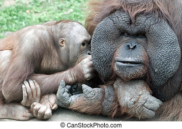 Orang-outang family communicating, taking a rest