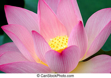Closeup of blooming lotus flower - The close up view of...