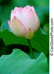 Lotus flower - A lotus flower with color of light pink