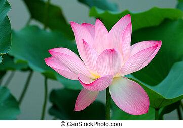 Single lotus flower - Blooming of a lotus flower on pond