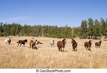 Wild Horse Herd - A herd of wild horses in a grass meadow in...