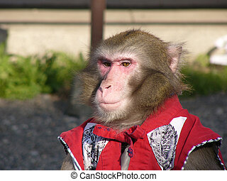 Japanese macaque in show-costume is ready for street circus...