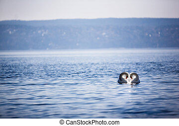 Swan Love - Two swans swimming close together creating a...
