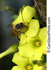 abeja, en, Un, amarillo, flor