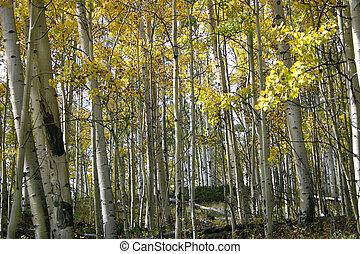 Aspen Grove (Populus - The golden foliage of aspen (Populus...