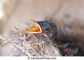 bird - small hungry bird in the nest, with open beak