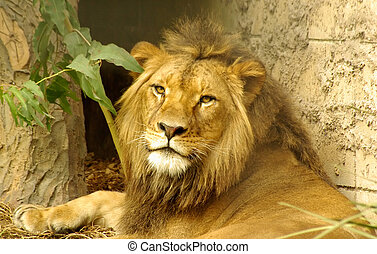 The King. - A Lion laying looking back over his shoulder.