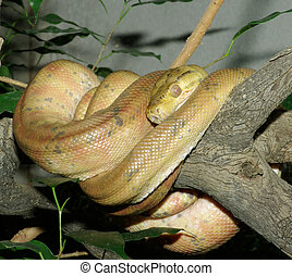 Tree Python. - A Tree Python coiled on a branch.