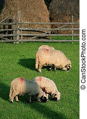 Feeding sheeps - Feeding sheep in Parang Mountains, Romania