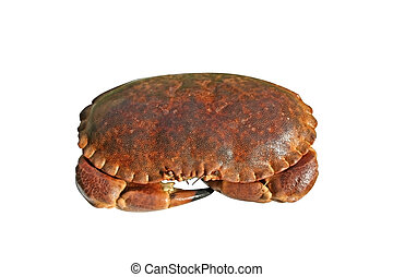 Crab isolated over white - Alive crab ready to be cooked....