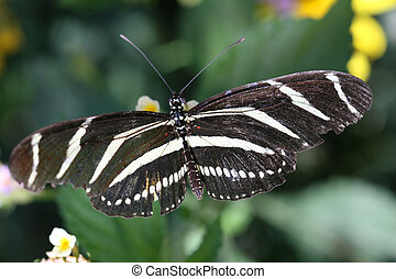 Zebra Longwing butterfly sitting on a leaf Heliconius...