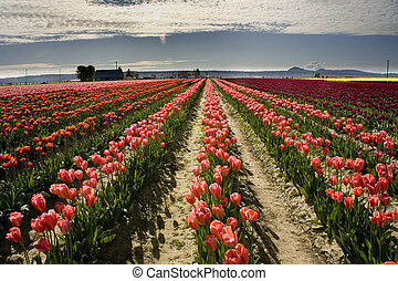 Tulips Skagit Washington - Pink Tulip Fields, Skagit County...