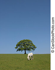 Simple Beauty - White horse standing in a field with an oak...