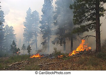 Forest Fire - Fire burning in a ponderosa pine forest.