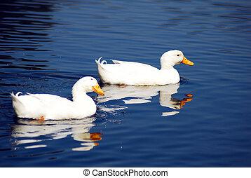 Snow Goose Pair