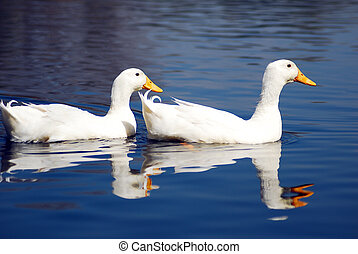 Snow Goose Couple