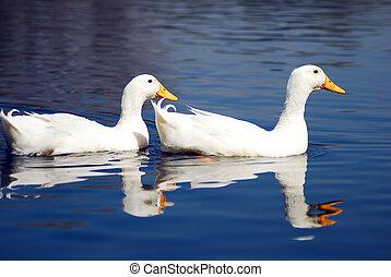 Snow Goose Couple