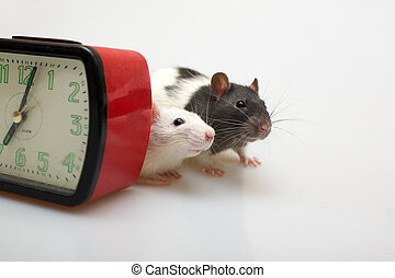 Isn\\\'t it time to have lu - two domestic rats peeping out...