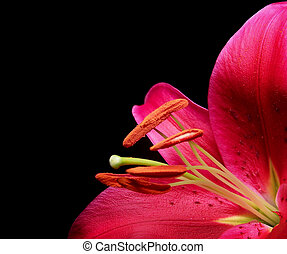 Stargazer Lily - Color photo of a Stargazer Lily on a black...